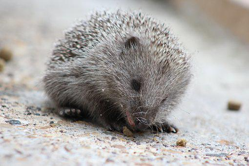 Hedgehog, Nature, Cute, Animal, Mammal, Garden