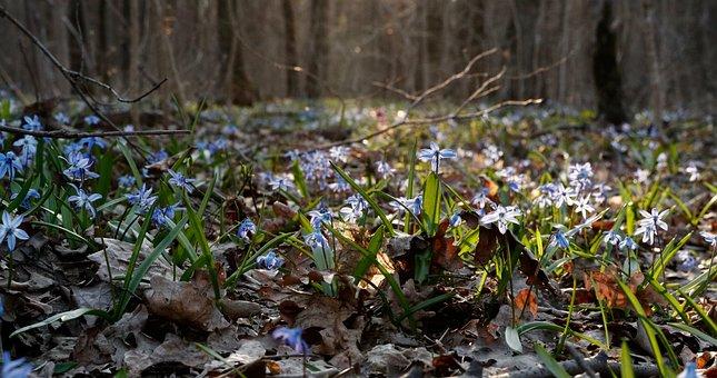 Scilla, Bloom, Blue, Asparagus, Spring, Flower, Flowers
