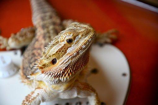 Bearded Dragon, Lizard, Staring, Spurs, Wary, Head
