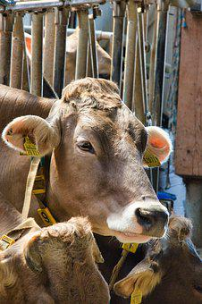 Cow, Beef, Cow Head, Agriculture, Cattle, Animal