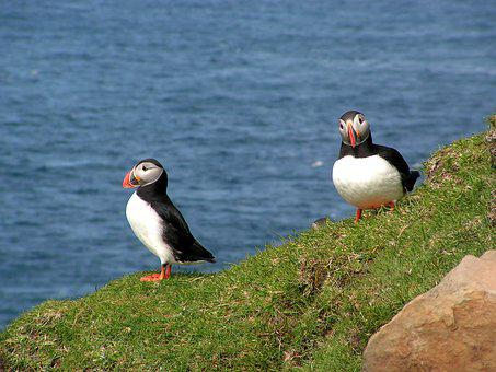 Faroe Islands, Puffin, Bird, Ocean, Wildlife, Atlantic