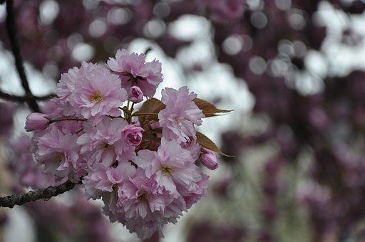 Cherry Tree, Spring, Blossom, Bloom, Flowers, Summer