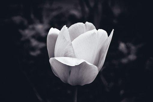 Flower, Tulip, Spring, Nature, Garden, Blossom, Bloom