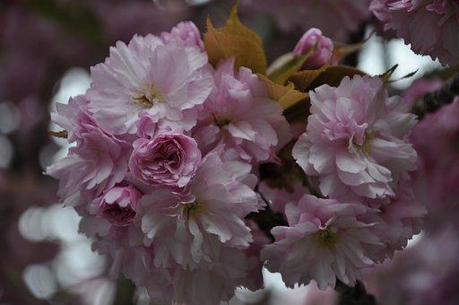 Cherry Tree, Spring, Blossom, Bloom, Tree, Pink, Nature