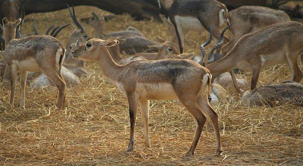 Deer, Animal, Nature, Wildlife, Mammal, Wild, Buck