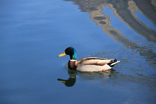 Duck, Lake, Carouge, Savoie, Bird, Swim, Nature