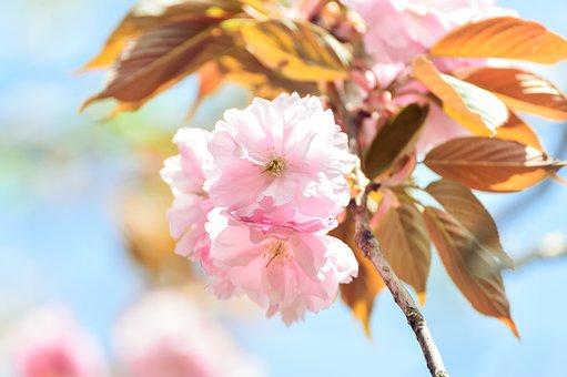 Landscape, Natural, Spring, Cherry Blossoms