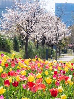 Tulip, Spring, Cherry Blossoms, City, Flowers, Natural