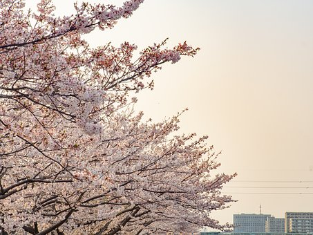 Cherry Blossoms, Spring, Flowers, Pink, Natural, Bloom