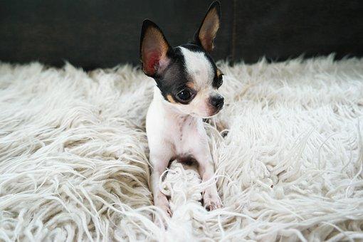 Chihuahua, Dog, Puppy, Cute, Small, Pet, Animal