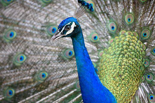 Peacock, Animal, Head, Feather, Color, Blue, Bird