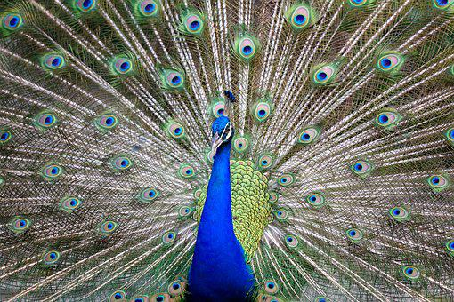 Peacock, Colorful, Bird, Feather, Color, Animal, Blue