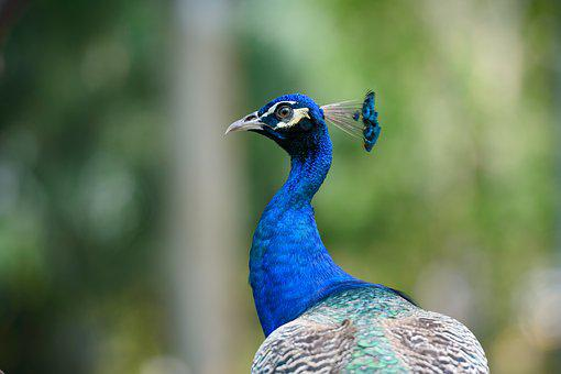 Peacock, Animal, Bird, Nature, Feather, Colorful, Color