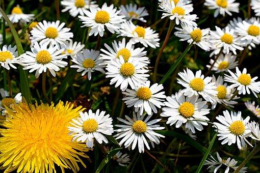 Daisies, Dandelions, Dandelion, Daisy, Spring, Flower