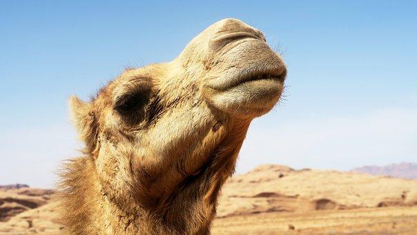Dromedary, Camel, Animal, Sand, Desert
