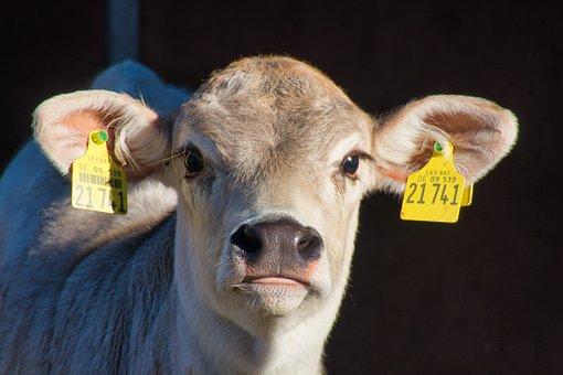 Calf, Calf's Head, Ears, Young Animal, Mammal