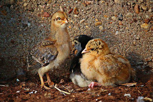Bird, Chicks, Easter, Animal, Chicken, Hahn, Cute