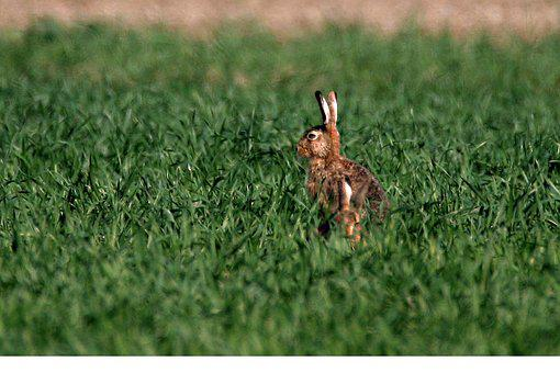Hare, Spring, Easter, Ears, Nature, Mammals