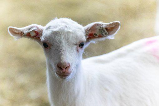 Kozička, Farm, Countryside, Home, Mammal, Goat, Economy