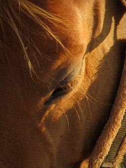 Horse, Animal House Horse, Eye, Eyelashes, Hair, Fur