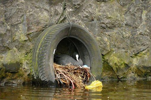 Coot, Bird, Waterfowl, Fauna, Nest, Hatch, Spring