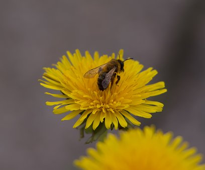 Dandelion, Bee, Yellow, Nature, Flower, Spring, Insect