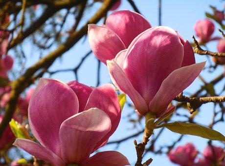 Magnolia, Spring, Flower, Pink