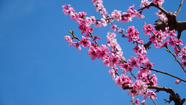 Peach Blossom, Spring, Flowers, Flowering, Pink