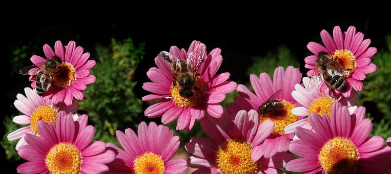 Flowers, Daisies, Bees, Insects, Pollen, Garden, Nature