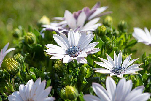 Cape Daisies, Flowers, White, Garden, In The Garden
