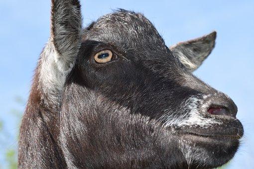 Goat, Eye Of The Goat, Goat Color Black, Nose Is Goat