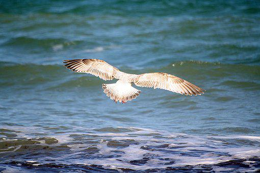 Gull, Animal, Bird, Catch, Senkflug, Baltic Sea