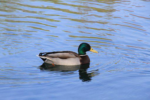 Duck, Lake, Carouge, Nature, Bird, Savoie