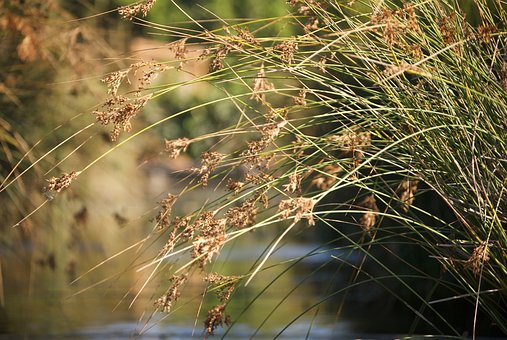 Reeds, Grass, Reed, Nature, Plant, Lake, Grasses
