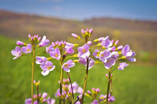 Flowers, Cuckoo Flower, Nature, Landscape, Spring