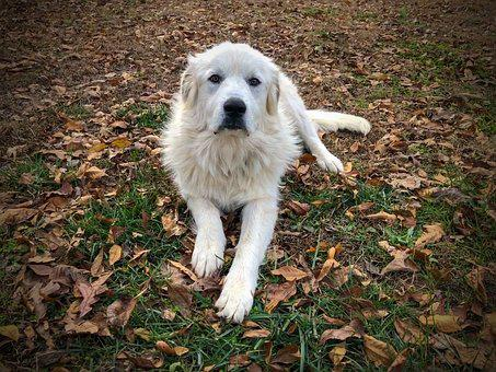 Dog, Puppy, Great Pyrenees, Fall, Leaves