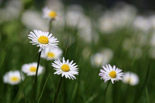 Daisies, Flower Meadow, Daisy, Meadow, Macro, Spring