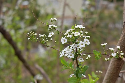 Meadowsweet Flower, Meadowsweet, Wood, Out Of Focus