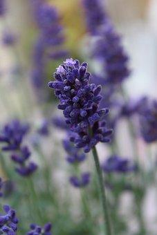 Lavender, Plant, Purple, Nature, Flowers, Violet