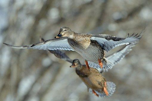 Duck In Flight, Duck, Fly, Flying, Nikon, Wild