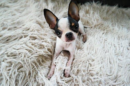 Dog, Chihuahua, Puppy, Cute, Small, Pet, Animal