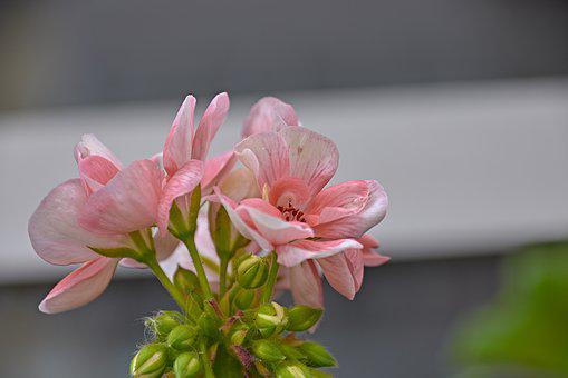 Flower, Garden, Plant, Red, Flora, Nature, Petals