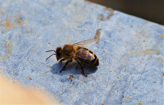 Bee, Forager, Worker, Insect, Pollinator, Nature
