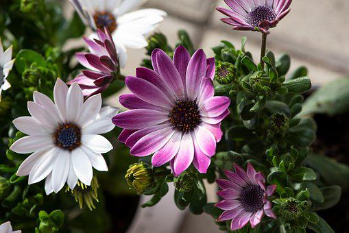Cape Daisies, Flowers, White, Purple, Pink, Plant