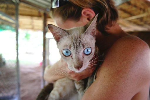 Siamese, Cat, Striking, Blue, Eyes, Sick, Fiv, Feline