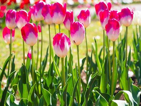 Tulip, Spring, Flowers, Natural, Garden, Spring Flowers