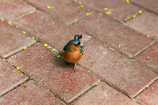 Birdie, Orange, Belly, Titmouse, Sparrow, Plumage, Bird