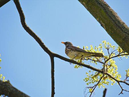 Turdus Pilaris, Fieldfare, Bird, Theropoda, Animal