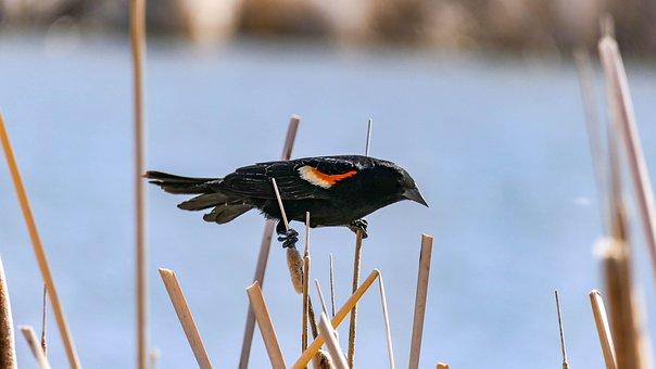 Blackbird, Bird, Animal, Nature, Wildlife, Tree, Marsh