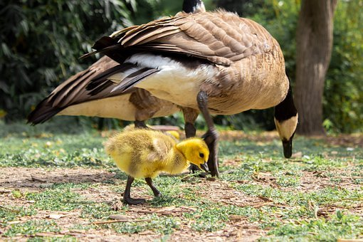 Geese, Baby, Adults, Birds, Family, Walking, Little